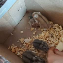 Título do anúncio: Hamster Filhote