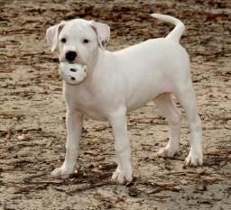 Título do anúncio: Dogo Argentino Machos e Femeas disponiveis
