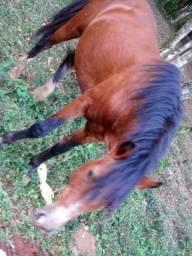 Cavalo quarto de milha com 7 anos