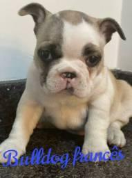 Bulldog francês filhotes encantadores
