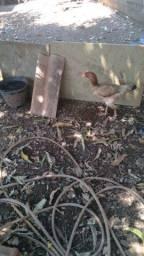 Título do anúncio: Vendo galinhas caipira