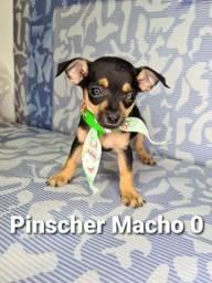 Pinscher com garantia