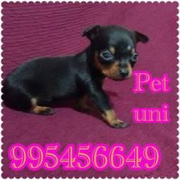 Título do anúncio: Pinscher zero lindos cães anão vacinados