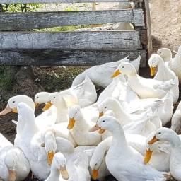 Título do anúncio: Ovos Galados De Marreco Pequim Gigante - Aves Selecionadas