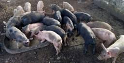 Porcos para vender! Venha conferir.