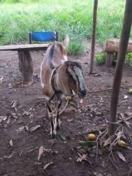 Cabra com 3 cabritos