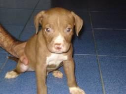 Filhote de pitbull Doando *