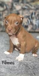 Filhote fêmea Pitbull