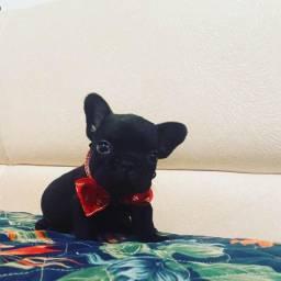 Lindo bulldog exótico preto
