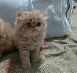 Gato persa red show