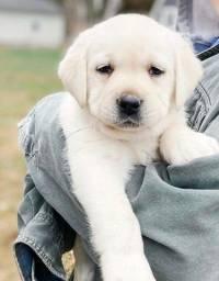 Belissimos Filhotes de Labrador