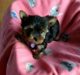 Título do anúncio: Pequenos Filhotes de Yorkshire Terrier