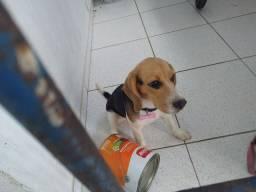 Beagle fêmea com pedigree