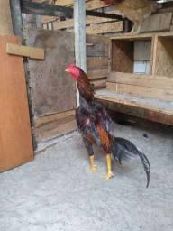 Chocadeira mais galinha ?