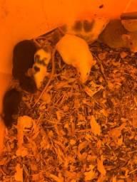 Título do anúncio: Ratinhos topolinos