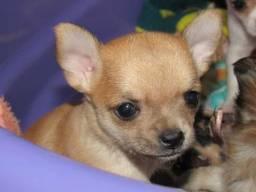 Feminha chihuahua miniatura