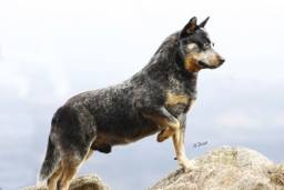 Blue Heeeler - Australian Cattle Dog