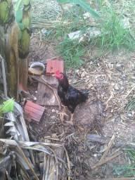 Vendo frango e frangas índios