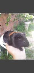 Porquinho da índia macho