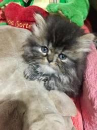VENDO filhote Gato Persa