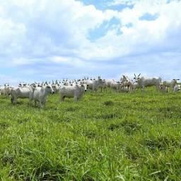 Fazenda a venda no batovi 1200 hectare