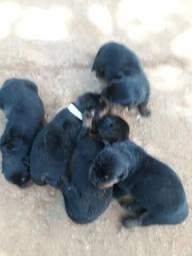 Vendo filhotes rottweiler