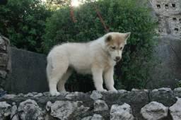 Título do anúncio: HUSK SIBERIANO MACHO E FÊMEA canil ps