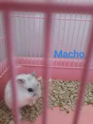 Hamster anão russo macho cor pérola
