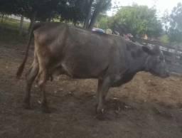 Vendo 2 vacas