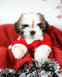 *BLACK FRIDAY* Shih Tzu Macho R$990