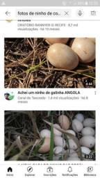 Ovos de coca galinha da angola