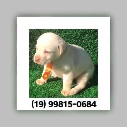 Labrador com pedigree e microchip até 18x