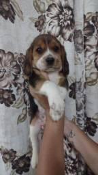 Beagle chamar no whats para informações * larissa
