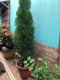 Plantas - Pinheiro