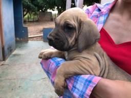 Filhotes de cachorro Fila brasileiro