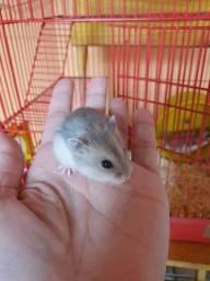 Título do anúncio: Filhotes de hamster anão russo