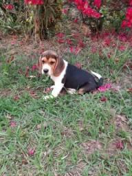 Título do anúncio:  Beagle filhotes fêmea em promoção