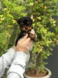 yorkshire terrier dócil