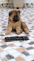 Título do anúncio: Vendo filhote Chow Chow FÊMEA