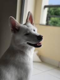 Cachorro Akita