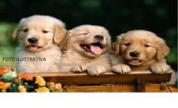 Filhotes Macho de Golden, Puros Vacinados e vermifugados -Parcelo a venda em até 4 vezes!!