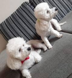 Vendo lindos filhotes de poodle toy