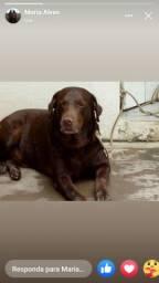 Labrador procura namorada