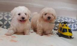 Lindos filhotes de poodle  toy  macho