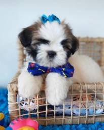 Black friday!Shih Tzu Macho R$990