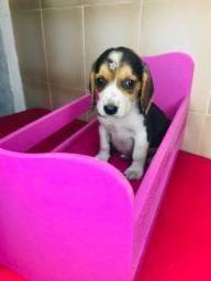 Filhotes de Beagle fêmeas tricolor a pronta entrega.