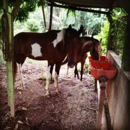 Vendo ou troco cavalo pampa linhagem jb  e uma potra castanha manga larga registrada