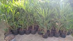 Palmeira-Ráfis