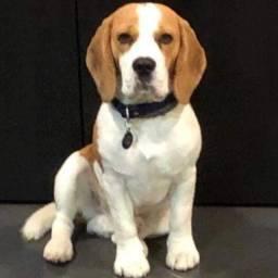 Beagle procuro femea