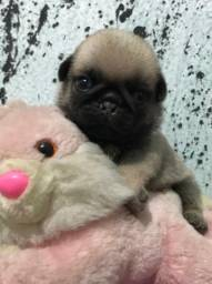 Vendo Pug com pedigree macho